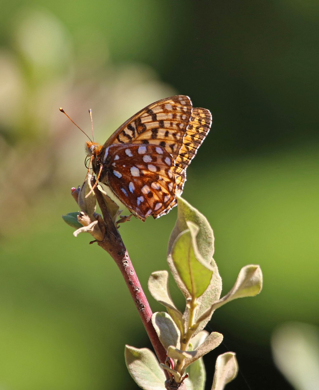 Oregon Silverspot Butterfly, by Peter Pearsall/U.S. Fish and Wildlife Service