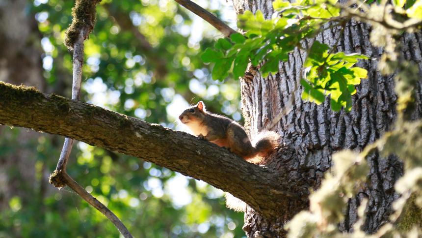A beautiful Grove Squirrel in a tree