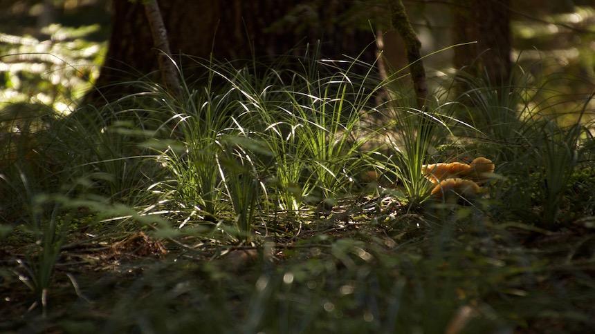 Mushrooms poke through the grass alongside a trail.